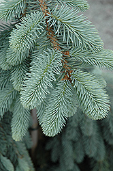 The Blues Colorado Blue Spruce (Picea pungens 'The Blues') at Family Tree Nursery
