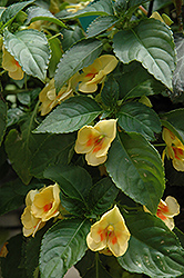 Fusion Glow Yellow Impatiens (Impatiens 'Fusion Glow Yellow') at Family Tree Nursery
