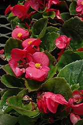 Super Olympia Rose Begonia (Begonia 'Super Olympia Rose') at Family Tree Nursery