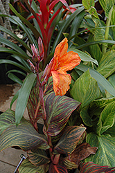Tropicana Canna (Canna 'Tropicana') at Family Tree Nursery