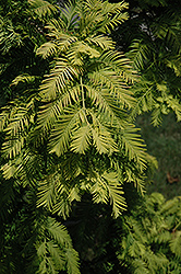 Gold Rush Dawn Redwood (Metasequoia glyptostroboides 'Gold Rush') at Family Tree Nursery