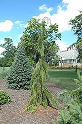 Jubilee Nootka Cypress (Chamaecyparis nootkatensis 'Jubilee') at Family Tree Nursery