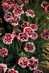 EverLast™ Lilac plus Eye Pinks (Dianthus 'EverLast Lilac Plus Eye') at Family Tree Nursery