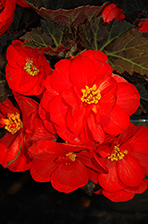 Nonstop® Mocca Scarlet Begonia (Begonia 'Nonstop Mocca Scarlet') at Family Tree Nursery
