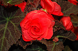 Nonstop® Mocca Cherry Begonia (Begonia 'Nonstop Mocca Cherry') at Family Tree Nursery