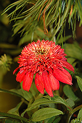 Double Scoop™ Cranberry Coneflower (Echinacea 'Balscanery') at Family Tree Nursery