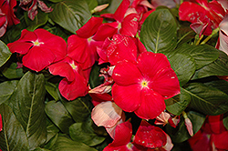 Cora® Cascade Cherry Vinca (Catharanthus roseus 'Cora Cascade Cherry') at Family Tree Nursery