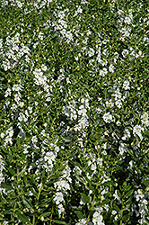 Angelface® White Angelonia (Angelonia angustifolia 'Angelface White') at Family Tree Nursery