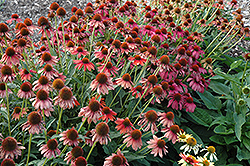 Cheyenne Spirit Coneflower (Echinacea 'Cheyenne Spirit') at Family Tree Nursery