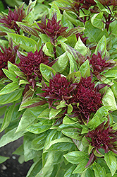Cardinal Basil (Ocimum basilicum 'Cardinal') at Family Tree Nursery