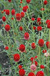 Qis Red Gomphrena (Gomphrena 'Qis Red') at Family Tree Nursery