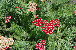 Song Siren Laura Yarrow (Achillea millefolium 'Song Siren Laura') at Family Tree Nursery