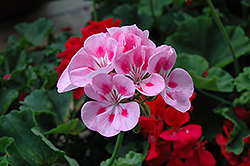 Rocky Mountain Light Pink Geranium (Pelargonium 'Rocky Mountain Light Pink') at Family Tree Nursery