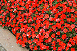 SunPatiens® Compact Electric Orange New Guinea Impatiens (Impatiens 'SunPatiens Compact Electric Orange') at Family Tree Nursery