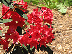 Vulcan Rhododendron (Rhododendron 'Vulcan') at Family Tree Nursery