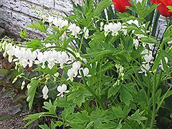 White Bleeding Heart (Dicentra spectabilis 'Alba') at Family Tree Nursery