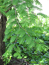 Dawn Redwood (Metasequoia glyptostroboides) at Family Tree Nursery