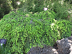 Cole's Prostrate Hemlock (Tsuga canadensis 'Cole's Prostrate') at Family Tree Nursery
