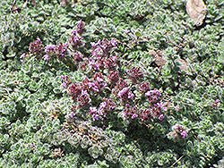Wooly Thyme (Thymus pseudolanuginosis) at Family Tree Nursery