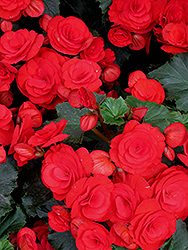 Nonstop® Red Begonia (Begonia 'Nonstop Red') at Family Tree Nursery
