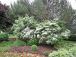 Chinese Dogwood (Cornus kousa 'var. chinensis') at Family Tree Nursery