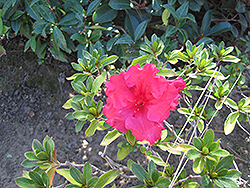 Bloom-A-Thon® Red Azalea (Rhododendron 'RLH1-1P2') at Family Tree Nursery