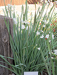 Paperwhites (Narcissus papyraceus) at Family Tree Nursery
