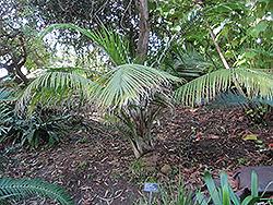 Majesty Palm (Ravenea rivularis) at Family Tree Nursery