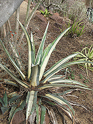 White Striped Agave (Agave americana var. medio-picta) at Family Tree Nursery