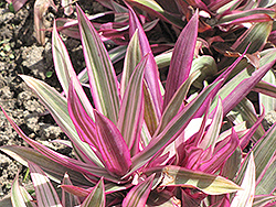 Variegated Moses In The Cradle (Tradescantia spathacea 'Variegata') at Family Tree Nursery