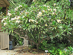 Common Frangipani (Plumeria rubra var. acutifolia) at Family Tree Nursery