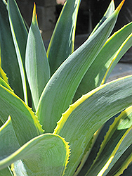 Variegated Smooth Agave (Agave desmettiana 'Variegata') at Family Tree Nursery