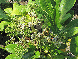 Japanese Fatsia (Fatsia japonica) at Family Tree Nursery