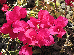 Raspberry Ice Bougainvillea (Bougainvillea 'Raspberry Ice') at Family Tree Nursery