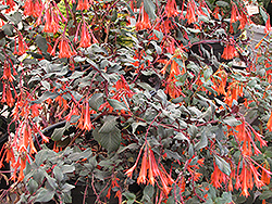 Gartenmeister Fuchsia (Fuchsia 'Gartenmeister Bonstedt') at Family Tree Nursery