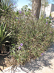 Mexican Petunia (Ruellia brittoniana) at Family Tree Nursery