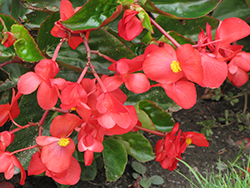 Dragon Wing Red Begonia (Begonia 'Dragon Wing Red') at Family Tree Nursery