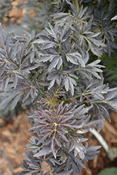 Laced Up® Elder (Sambucus nigra 'SNR1292') at Family Tree Nursery
