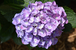Cityline® Berlin Hydrangea (Hydrangea macrophylla 'Berlin Rabe') at Family Tree Nursery