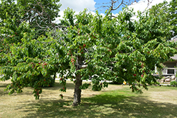 Bing Cherry (Prunus avium 'Bing') at Family Tree Nursery