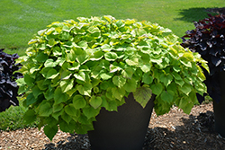 Sweet Caroline Bewitched Green With Envy™ Sweet Potato Vine (Ipomoea batatas 'NCORNSP-020BWGWE') at Family Tree Nursery