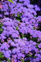 Artist Blue Flossflower (Ageratum 'Artist Blue') at Family Tree Nursery