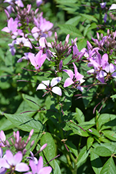 Pequena Rosalita® Spider Flower (Cleome 'INCLENINRO') at Family Tree Nursery
