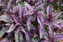 Persian Shield (Strobilanthes dyerianus) at Family Tree Nursery