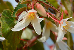 Bossa Nova® Pure White Begonia (Begonia boliviensis 'Bossa Nova Pure White') at Family Tree Nursery