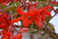 Waterfall® Encanto Red® Begonia (Begonia boliviensis 'Encanto Red') at Family Tree Nursery