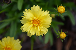 Leading Lady Charlize Tickseed (Coreopsis 'Leading Lady Charlize') at Family Tree Nursery