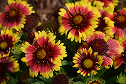 Sunset™ Mexican Blanket Flower (Gaillardia x grandiflora 'Sunset Mexican') at Family Tree Nursery