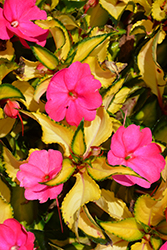 SunPatiens® Compact Tropical Rose New Guinea Impatiens (Impatiens 'SunPatiens Compact Tropical Rose') at Family Tree Nursery