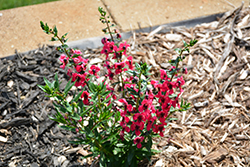 Archangel™ Cherry Red Angelonia (Angelonia angustifolia 'Balarcher') at Family Tree Nursery